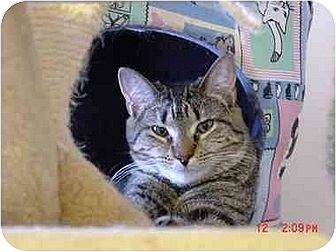 Domestic Shorthair Cat for adoption in Chicago, Illinois - Twixie