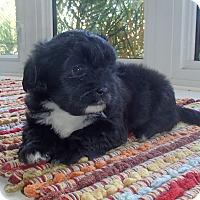Adopt A Pet :: Liza - La Habra Heights, CA