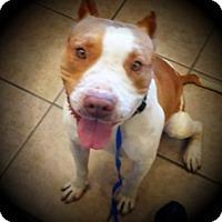 Adopt A Pet :: Thor - Phoenix, AZ