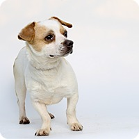 Adopt A Pet :: Arco - Los Angeles, CA
