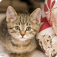 Adopt A Pet :: Gita - Fountain Hills, AZ