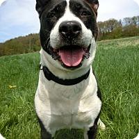 Adopt A Pet :: SAPHIRA - New Cumberland, WV