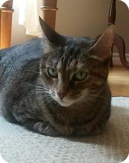 Domestic Shorthair Cat for adoption in Blackstock, Ontario - Shya