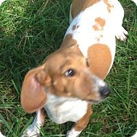 Adopt A Pet :: Daisy~pending - Elkhart, IN