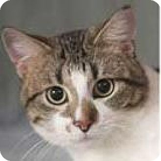Domestic Shorthair Cat for adoption in Chicago, Illinois - Mel