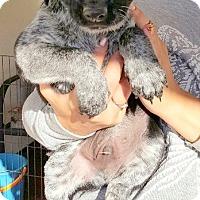 Adopt A Pet :: ZANE AND ZACH - Winnetka, CA