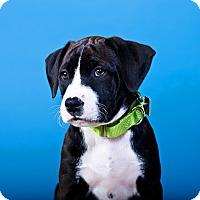 Adopt A Pet :: Frita - Houston, TX