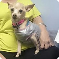 Adopt A Pet :: Tamale queen - McAllen, TX