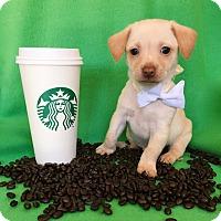 Adopt A Pet :: Latte - Irvine, CA