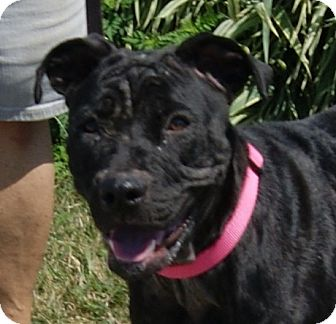 Pit Bull Terrier Mix Dog for adoption in Dundee, Michigan - Her