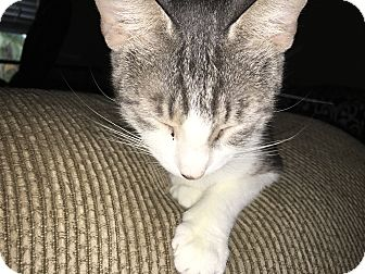 Domestic Shorthair Cat for adoption in Tampa, Florida - Maggie