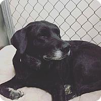 Labrador Retriever Mix Dog for adoption in Warner Robins, Georgia - Ariel
