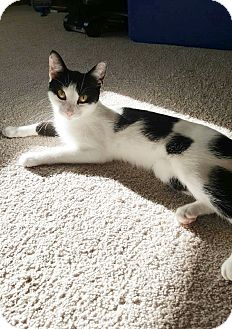 American Shorthair Cat for adoption in Richmond, Michigan - Eve