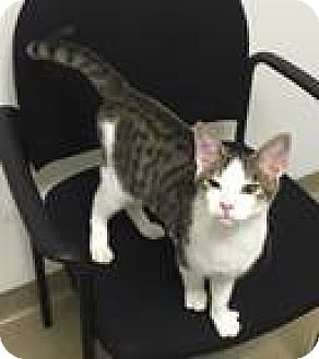 Domestic Shorthair Cat for adoption in Fairfax, Virginia - Gus Gus