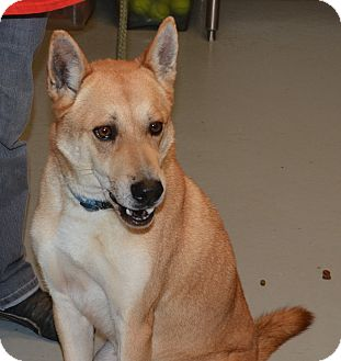 Jindo/Shiba Inu Mix Dog for adoption in Yonkers, New York - Lucky