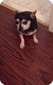 Chihuahua Dog for adoption in Wallingford Area, Connecticut - Emilio