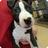 Adopt A Pet :: Taz - Gadsden, AL