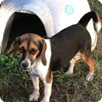 Beagle Mix Dog for adoption in Dumfries, Virginia - Grace