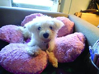 Maltese/Westie, West Highland White Terrier Mix Dog for adoption in Chattanooga, Tennessee - Jane Seymour (TN)