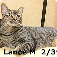 Domestic Shorthair Cat for adoption in Brandon, Florida - Lance
