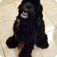 Cocker Spaniel Dog for adoption in Austin, Texas - Cole