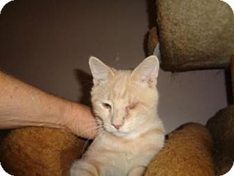 Domestic Shorthair Kitten for adoption in Breinigsville, Pennsylvania - Chico