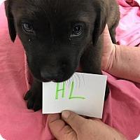 Adopt A Pet :: Tq litter - Wakko - APPLICATIONS CLOSED - Livonia, MI