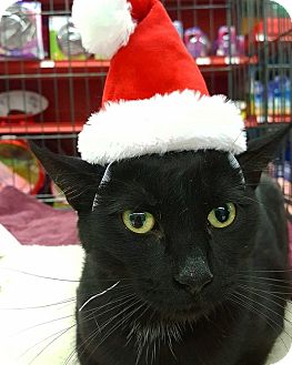 Bombay Cat for adoption in Los Angeles, California - Pandora