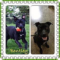 Adopt A Pet :: Bentley II (COURTESY POST) - Louisville, KY