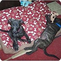 Adopt A Pet :: Girl 2 - Antioch, IL