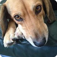 Adopt A Pet :: Jacy - Phoenix, AZ