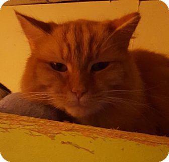 Domestic Longhair Cat for adoption in New Bedford, Massachusetts - Yota
