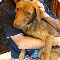 Vizsla/Labrador Retriever Mix Dog for adoption in New Hartford, New York - Penny - Sweet and Friendly!!