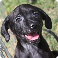 Adopt A Pet :: Jackson 5 Puppies! - Henderson, NV