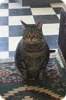 Domestic Shorthair Cat for adoption in Arcata, California - Kiki