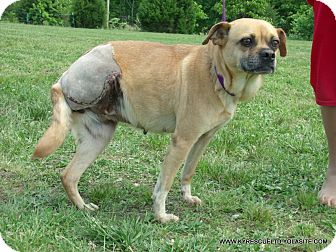 Pug/Australian Cattle Dog Mix Dog for adoption in parissipany, New Jersey - Queenie