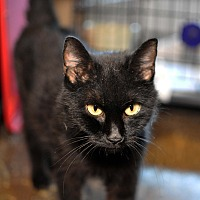 American Shorthair Cat for adoption in Tanner, Alabama - Raven