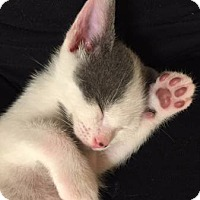 Domestic Shorthair Kitten for adoption in Fort Lauderdale, Florida - Dean