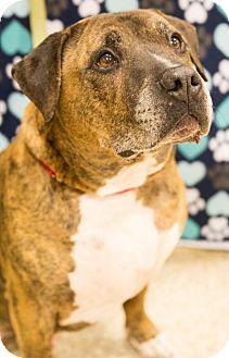 American Bulldog/Mastiff Mix Dog for adoption in Round Lake Beach, Illinois - Tigger
