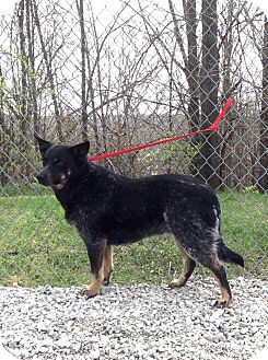 Blue Heeler Mix Dog for adoption in Atchison, Kansas - Blu