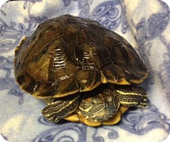 Turtle - Water for adoption in Cheektowaga, New York - Flynn
