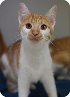 Domestic Shorthair Cat for adoption in DFW Metroplex, Texas - Summer