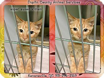 Domestic Shorthair Kitten for adoption in Kenansville, North Carolina - ORANGE KITTEN
