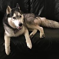 Siberian Husky Dog for adoption in Atlanta, Georgia - Jack