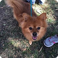 Adopt A Pet :: Borko - Dallas, TX