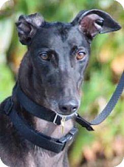 Greyhound Dog for adoption in Nashville, Tennessee - Lars