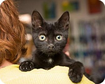 Domestic Shorthair Cat for adoption in Baltimore, Maryland - Killian