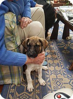 Hound (Unknown Type)/Labrador Retriever Mix Puppy for adoption in Doylestown, Pennsylvania - Wrigley