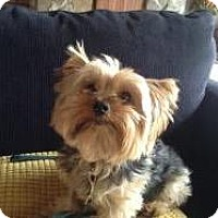 Yorkie, Yorkshire Terrier Dog for adoption in Athens, Georgia - Bandit