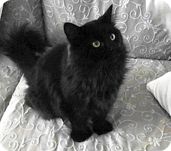 Domestic Mediumhair Cat for adoption in Hudson, New York - Leona
